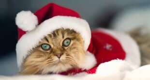 Cat dressed as Santa Claus HD Wallpapers