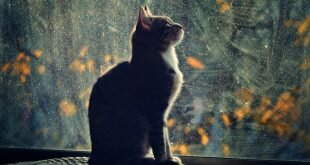 Cat looking out the window HD Wallpapers