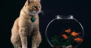 Cat looks at the fish HD Wallpapers